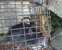 Image result for rat in woodinville washington