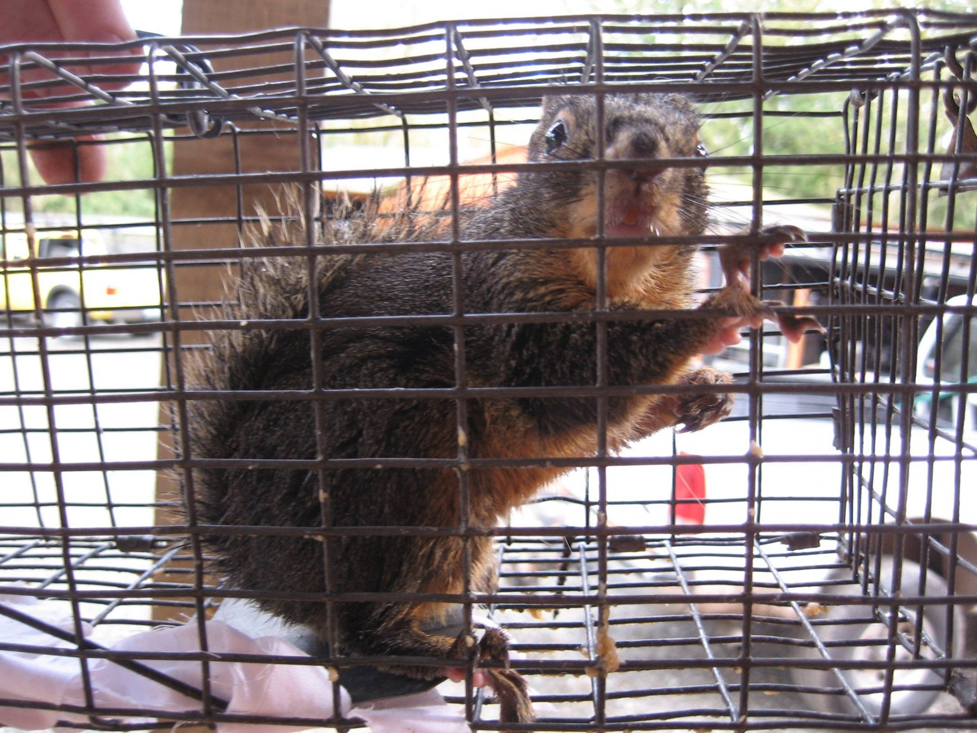 Squirrel trapping services in Seattle.